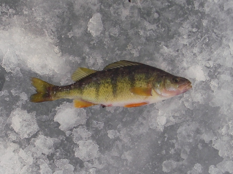 Montana winter ice fishing for perch