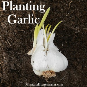 How to plant garlic in your vegetable garden
