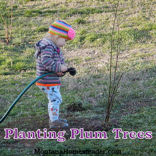 How to plant plum trees