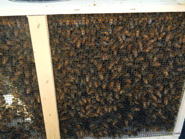 thousands of honeybees buzzing on arrival of Bee Day at Fort Missoula Montana