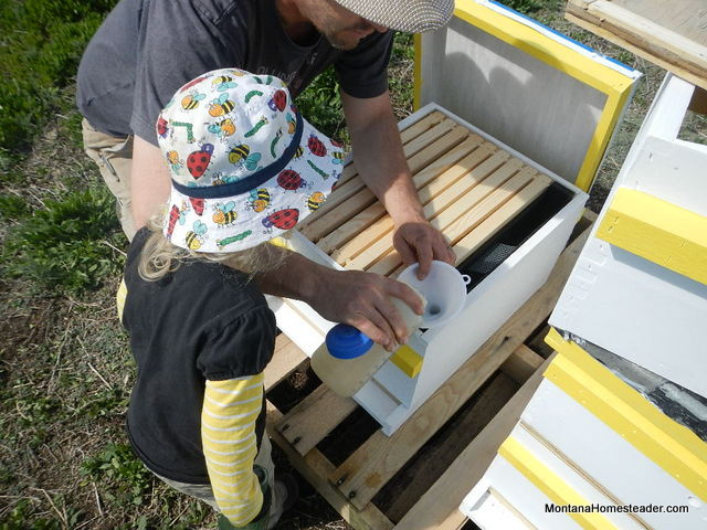hiving honey bees and feeding sugar water syrup to feed the bees