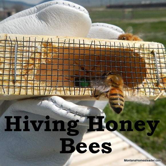 hiving honey bees