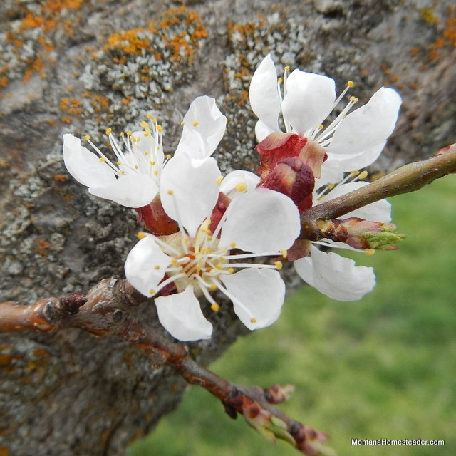 apricot flower blossom in spring