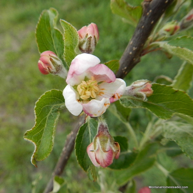 pink apple flower blossom in Montana spring