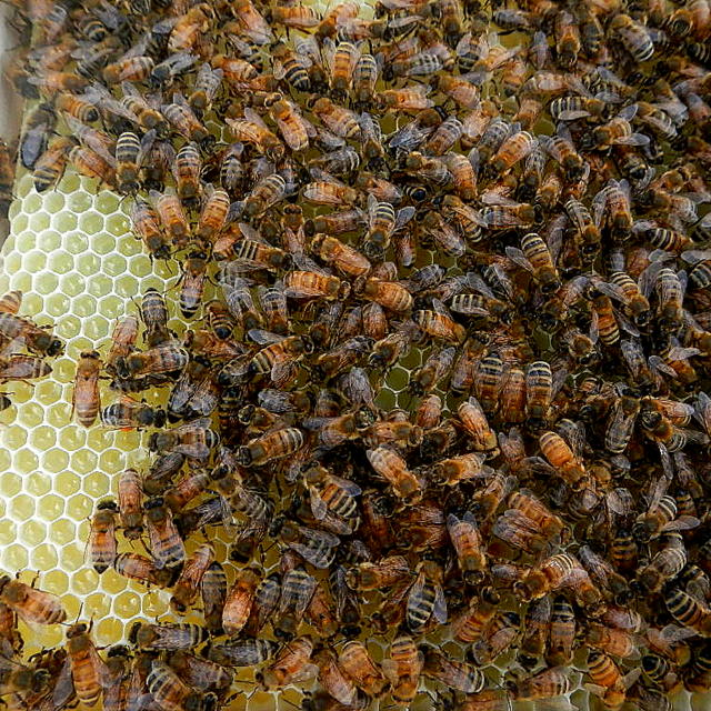 swarms of honey bees in a bee hive