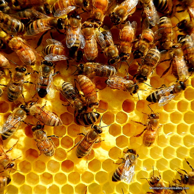 honey bees capping larva in a hive