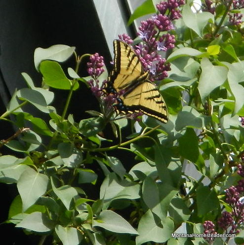 swallowtail butterfly in montana