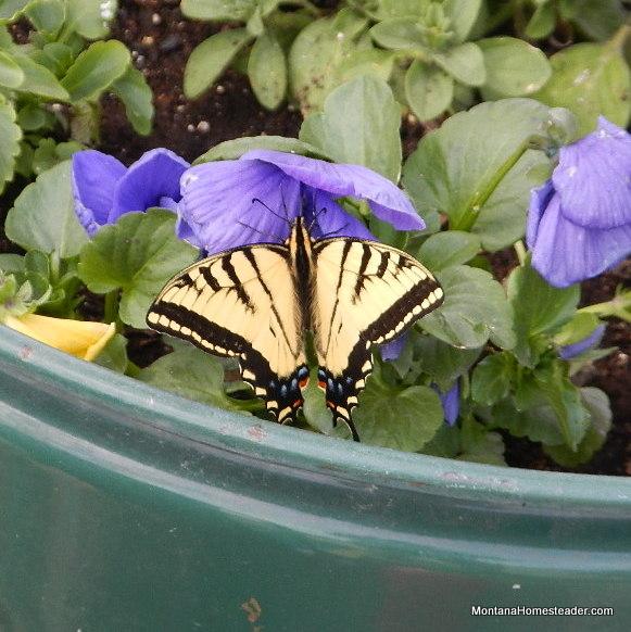 swallowtail butterfly on flower in montana