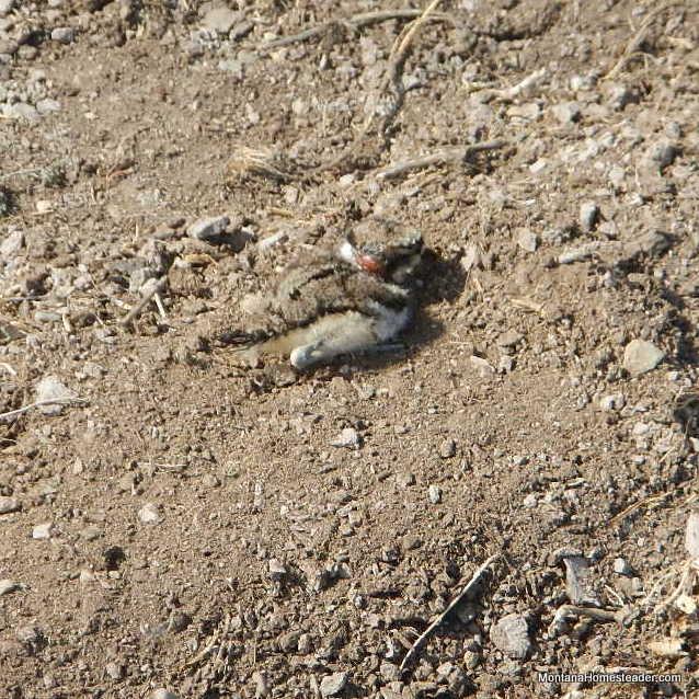 baby killdeer bird in Montana