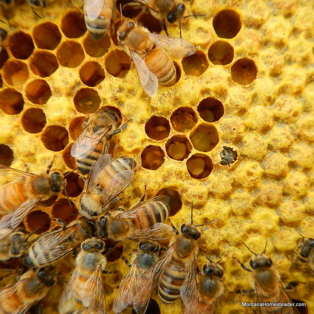 new honey bee emerging from capped brood in bee hive