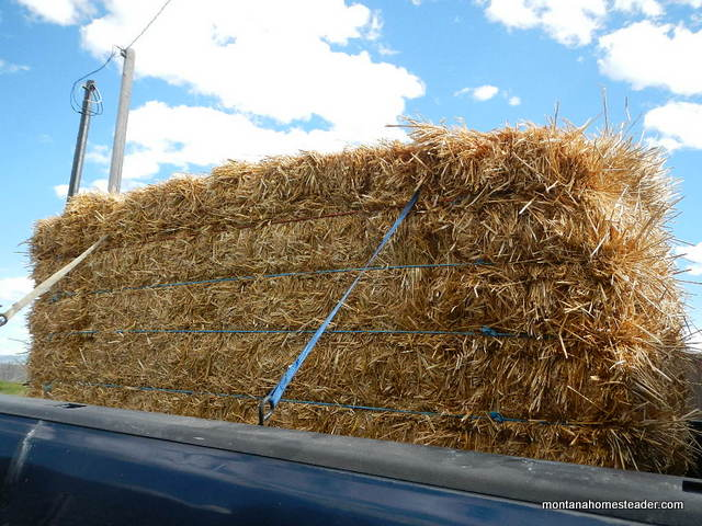 Using a large straw bale to mulch a garden during a drought