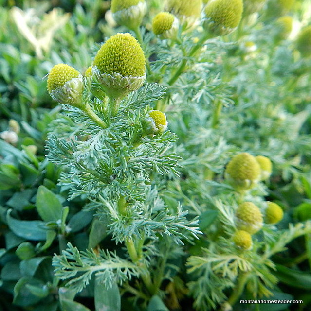 Foraging for Pineapple Weed or Wild Chamomile to make herbal tea