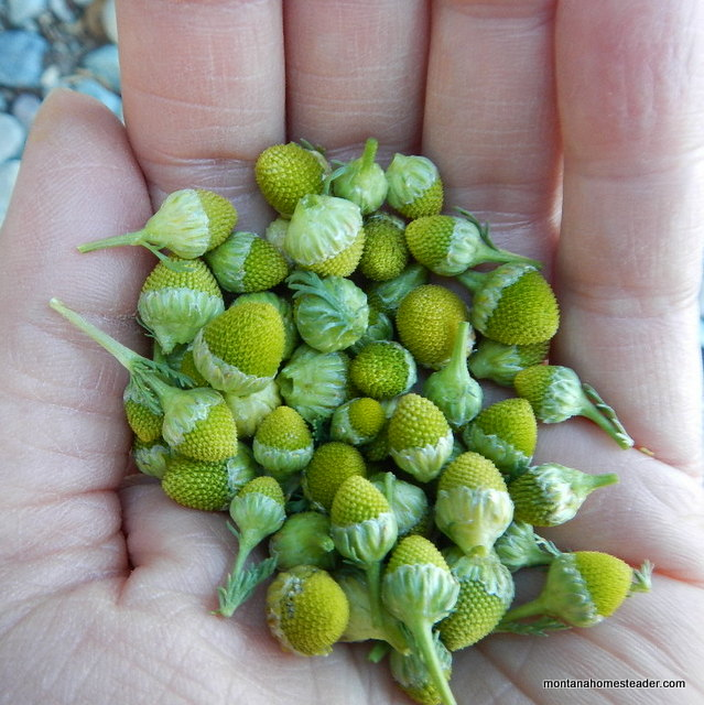 Foraging for edible Pineapple Weed to make homemade herbal tea