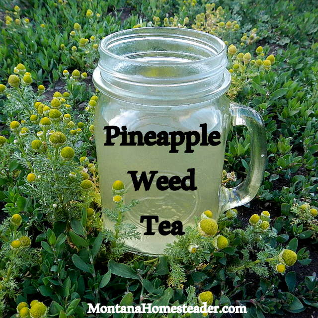 How to make foraged pineapple weed herbal tea