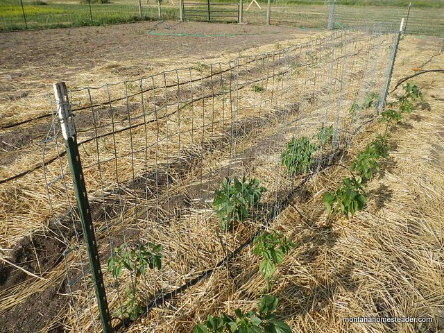 growing heirloom tomatillos and using a fence trellis in the garden