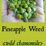 Pineapple Weed Tea