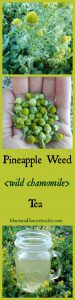 Wild harvested Pineapple weed Tea also known as wild chamomile Montana Homesteader
