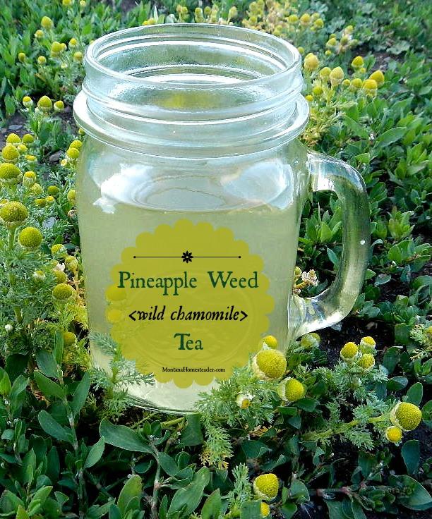 Pineapple weed wild chamomile tea recipe Montana Homesteader