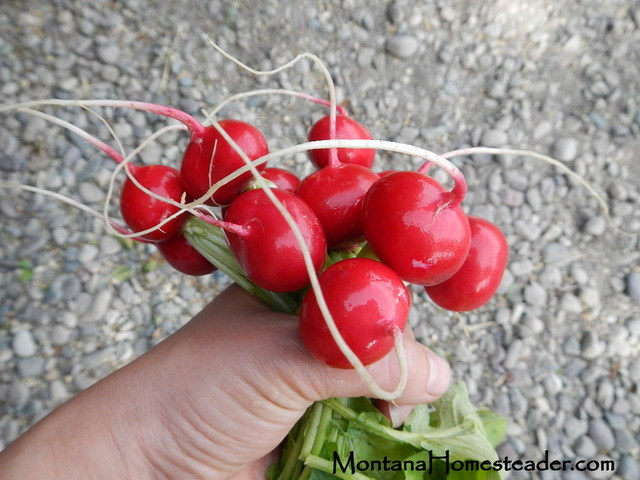 Raw organic radishes for thyme roasted radishes recipe