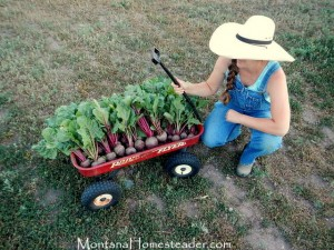 Harvesting heirloom beets in the organic garden in Montana