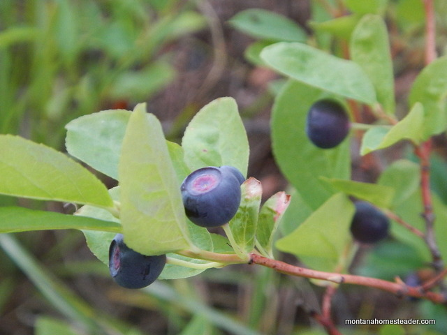 Foraging and wild harvesting huckleberries in Montana