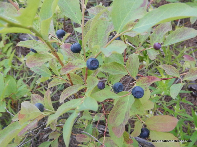 Wild huckleberry bushes ready to harvest July 2014 Rocky mountain west Montana Homesteader