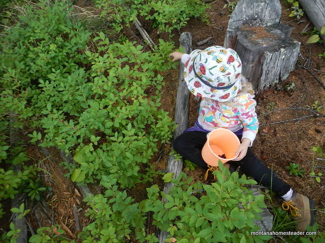 Toddler wild harvesting and foraging for huckleberries rocky mountains Montana Homesteader