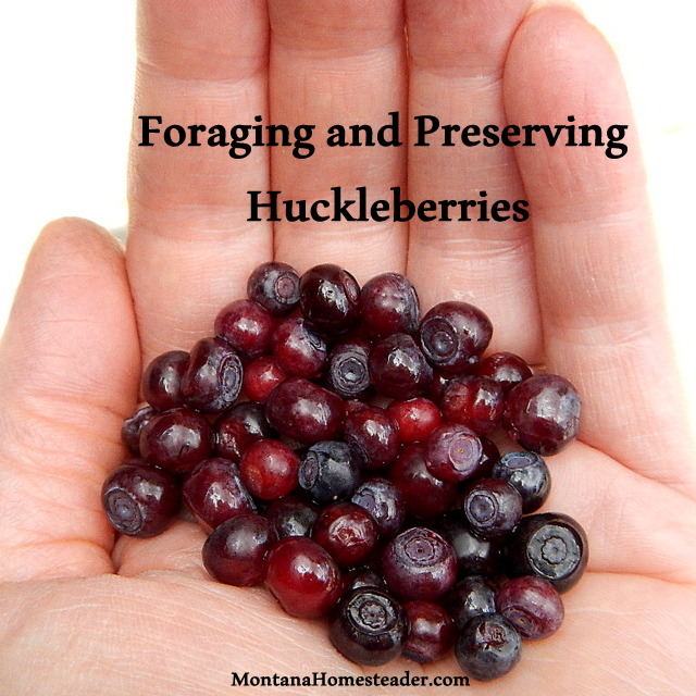 How to forage and preserve wild huckleberries in Rocky Mountains Montana Homesteader