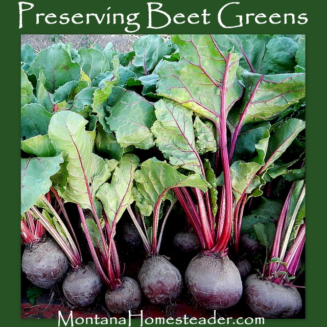 How to preserve beet greens Montana Homesteader