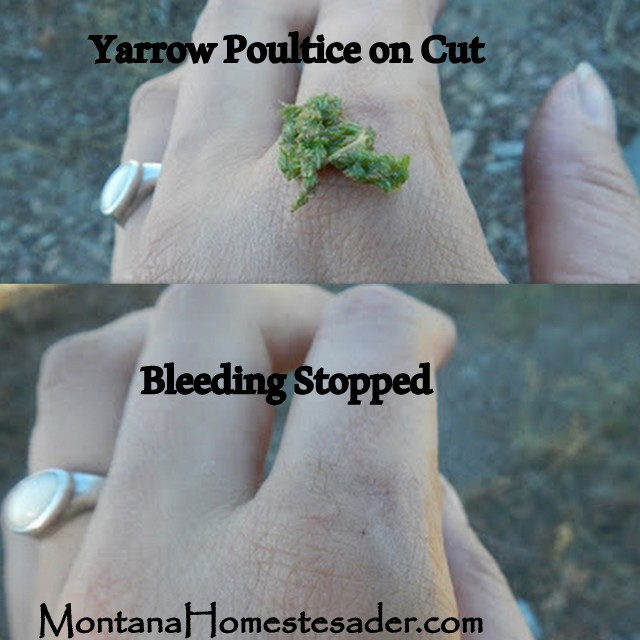 Yarrow Natures Band Aide used to stop bleeding in a cut Montana Homesteader