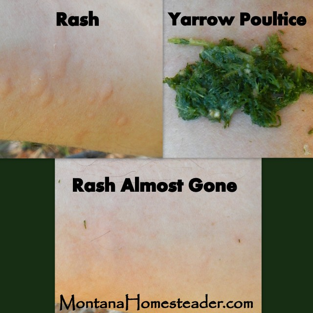 Using medicinal yarrow to alleviate skin rash natures first aid Montana Homesteader