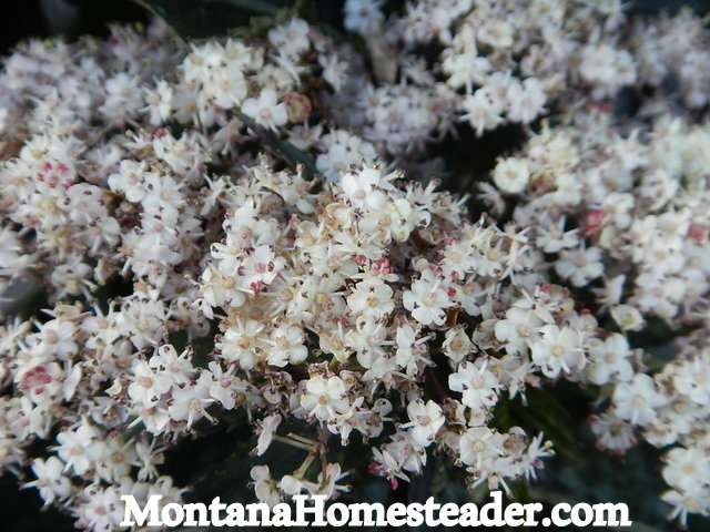Elderberry flower identification Montana Homesteader