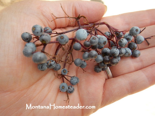 how to identify and forage for wild blue elderberry in the rocky mountains Montana Homesteader