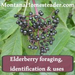 Elderberry Foraging, Identification & Uses