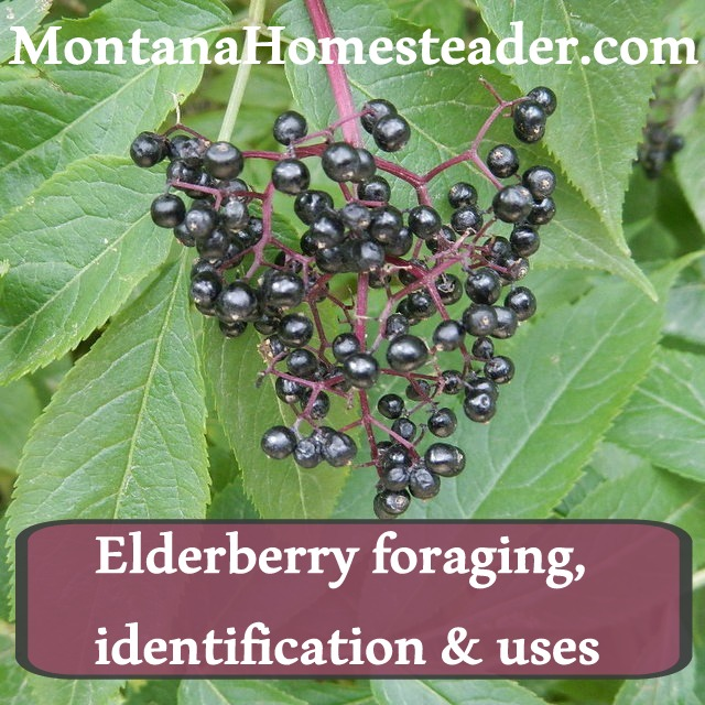 How to identify, forage and use elderberry for juice and elderberry syrup.  Montana Homesteader