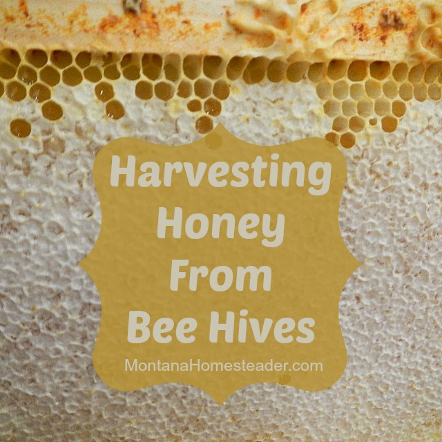 How to harvest honey from honey bee hives Montana Homesteader