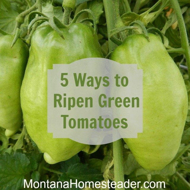5 ways to ripen green tomatoes indoors. Montana Homesteader