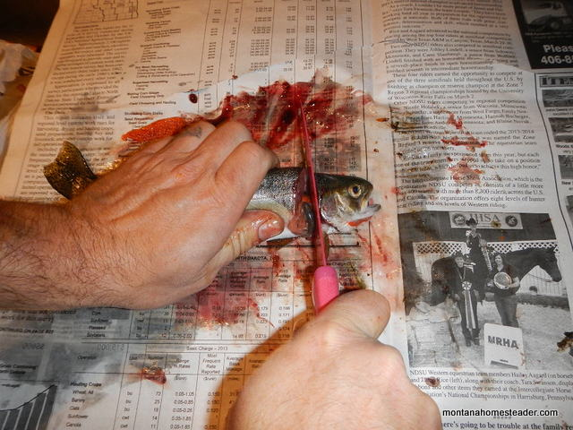 How to remove the head from a trout to gut and clean it for eating | Montana Homesteader