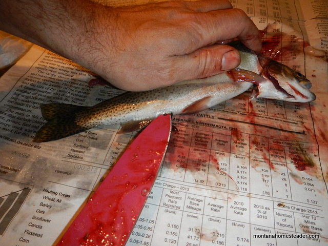 Tutorial on how to gut and clean a trout | Montana Homesteader