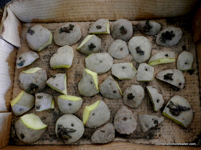 Growing Potatoes Planting Seed