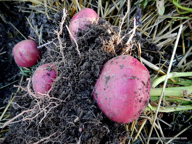 How to harvest potatoes by pulling up the plant | Montana Homesteader