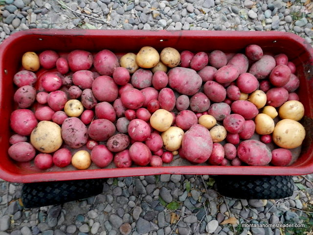 Growing, harvesting and storing potatoes | Montana Homesteader