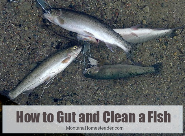 How to Gut and Clean a wild harvested fish and prepare it for eating | Montana Homesteader