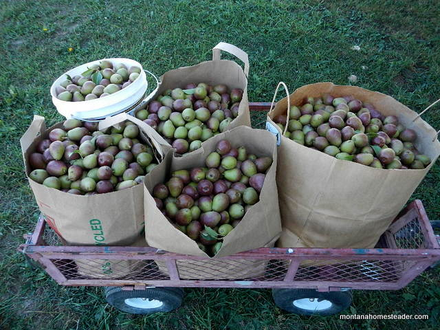growing and harvesting organic seckel pears | Montana Homesteader