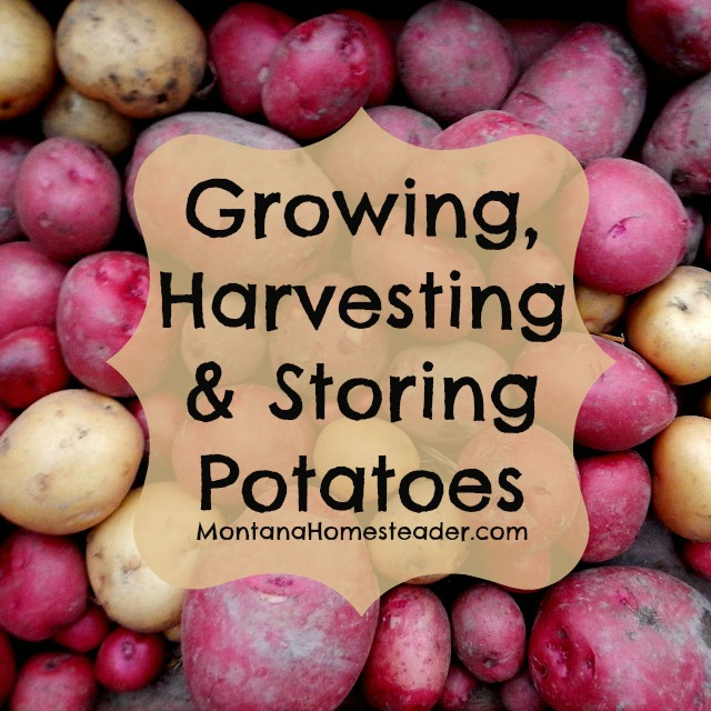 How to grow, harvest and store potatoes | Montana Homesteader