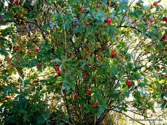how to harvest rose hips and how to use them | Montana Homesteader