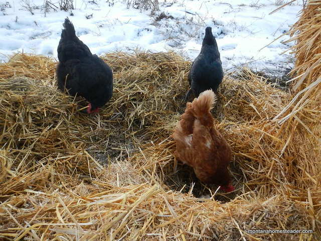 chickens scratching and pecking in straw and dirt in the garden | Montana Homesteader