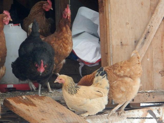 introducing a new chicken flock to the garden | Montana Homesteader