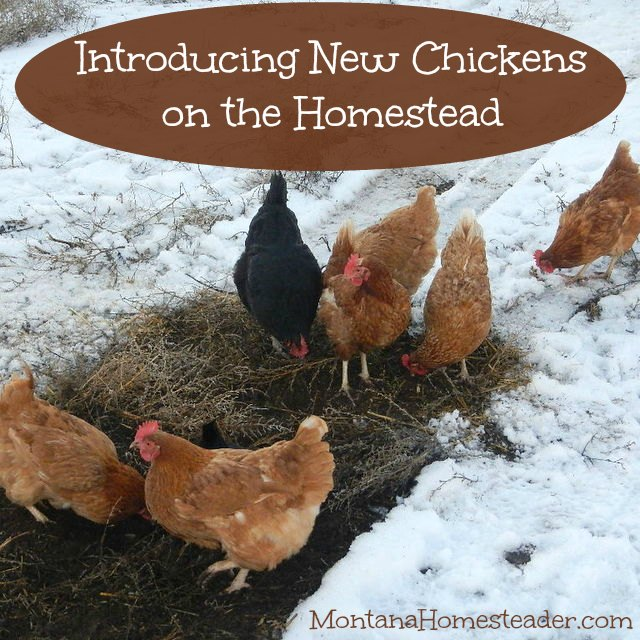 Introducing new chickens on the homestead | Montana Homesteader