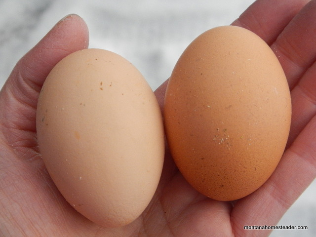 our first two brown chicken eggs from our new flock | Montana Homesteader